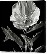 Mexican Evening Primrose In Black And White Canvas Print