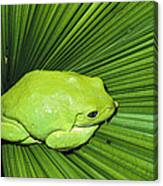 Mexican Giant Tree Frog Pachymedusa Canvas Print