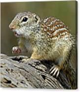 Mexican Ground Squirrel Canvas Print