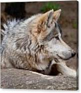 Mexican Wolf Canvas Print