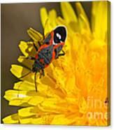 Milkweed Bug Canvas Print