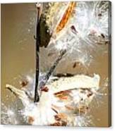 Milkweed  Explosion Canvas Print