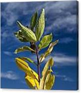 Milkweed Pods Against A Blue Sky Background Canvas Print