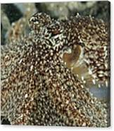Mimic Octopus Head, North Sulawesi Canvas Print
