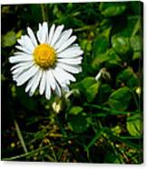 Miniature Daisy In The Grass Canvas Print