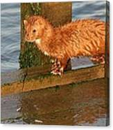Mink Catching Fish Canvas Print