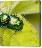Mint Leaf Beetles Mating Canvas Print