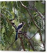 Mississippi Blue Jay Canvas Print