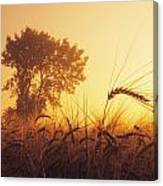 Mist In A Barley Field At Sunset Canvas Print