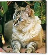 Mixed Breed Cat--mia Canvas Print