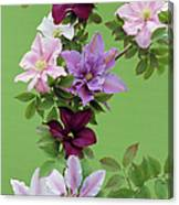 Mixed Clematis Flowers Canvas Print