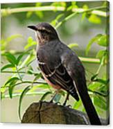 Mocking Bird Picture 3 Canvas Print