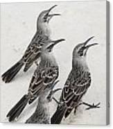 Mockingbirds Mimidae Galapagos, Equador Canvas Print