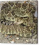 Mohave Diamondback Rattlesnake Coiled Canvas Print