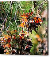 Monarch Butterfly Gathering Canvas Print
