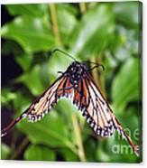 Monarch Butterfly In Flight Canvas Print