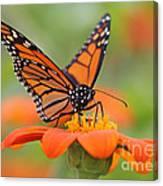 Monarch Butterfly Macro Canvas Print