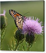 Monarch Butterfly On Bull Thistle Wildflowers Canvas Print