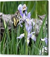 Butterfly On Iris Canvas Print