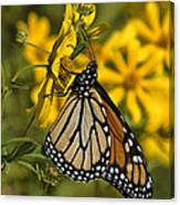 Monarch Butterfly On Tickseed Sunflower Din146 Canvas Print