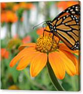 Monarch Butterfly On Tithonia Flower Canvas Print