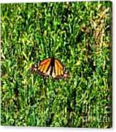 Monarch Butterfly Photograph Canvas Print