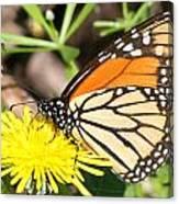 Monarch Feeding Canvas Print