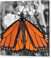 Monarch On Black And White Canvas Print