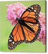 Monarch On Blossoms Canvas Print