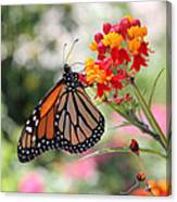 Monarch On Butterfly Weed Canvas Print