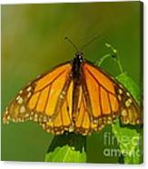 Monarch On Hackberry Canvas Print