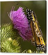 Monarch On Thistle 2 Canvas Print