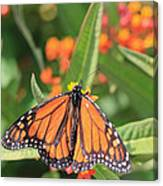 Monarch Sipping Canvas Print