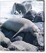 Monk Seal Canvas Print