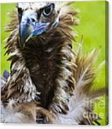 Monk Vulture 5 Canvas Print