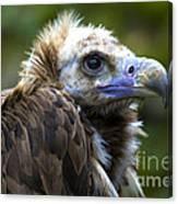 Monk Vulture Canvas Print