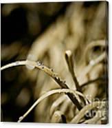 Monkey Grass Dewdew Canvas Print