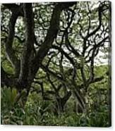 Monkeypod Trees II Canvas Print