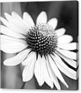 Monochrome Echinacea Canvas Print