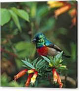 Montane Double-collared Sunbird Canvas Print