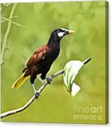 Montezuma Oropendula - Dp Canvas Print