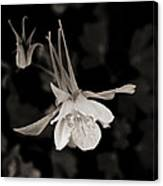 Moonlight Columbine Canvas Print