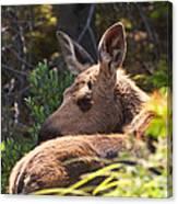 Moose Baby 5 Canvas Print