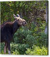 Moose Baxter State Park Maine 3 Canvas Print