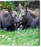Moose Calves  Canvas Print