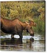 Moose Drinking In A Pond, Tombstone Canvas Print