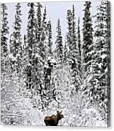 Moose In Deep Snow, Near Teslin, Yukon Canvas Print