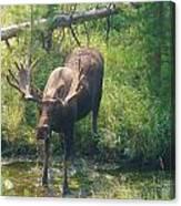 Moose Is Loose Canvas Print