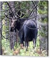 Moose Looks Canvas Print