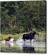 Moose N Baby..out Of Here Canvas Print